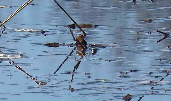 Frog (boreal Chorus frog)