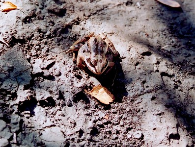 Wood frog ??