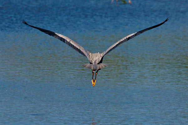 Heron Leaving