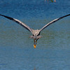 Heron Leaving