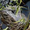 Peeking Gator