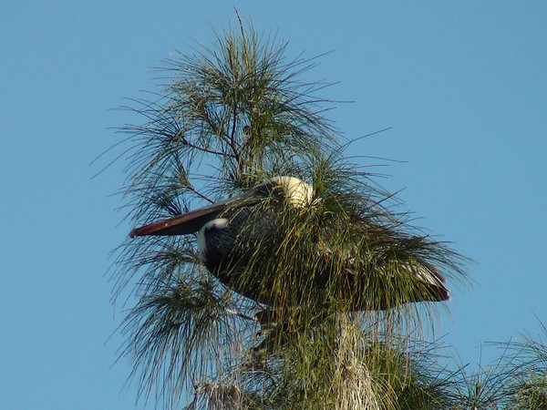 Pelican Camouflage