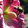 Hovering Bee on Holyhock