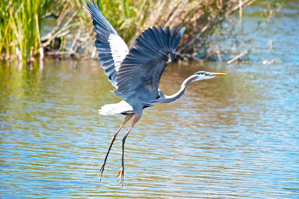Heron Takes Off