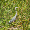 Heron In Marsh