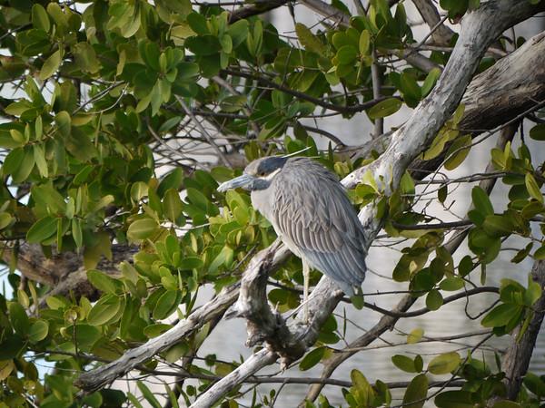 Heron in Mangrove Tree