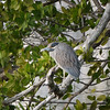 Heron in Mangrove Tree