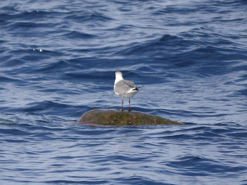 Seagull on Sea Turtle