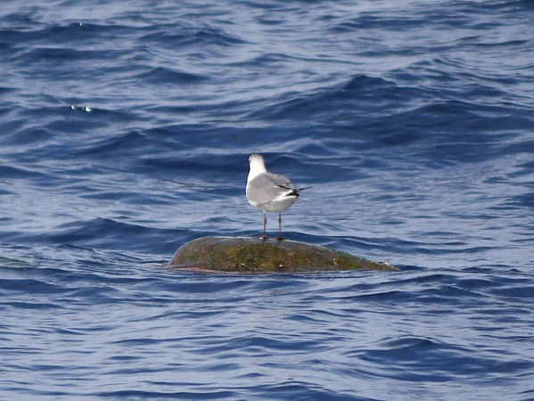 Seagull on Sea Turtle