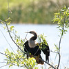 Cormorant in Everglades