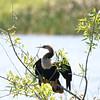 Cormorant in Everglades