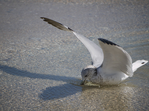 Gull at Lunch