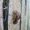 Cicada skin on totara bark, Awakiki Bush, Catlins