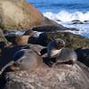 New Zealand fur seals (Kekeno), Martins Bay