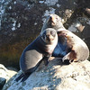 New Zealand fur seal mother and pup, Martins Bay