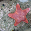 Starfish, Cascade Coast