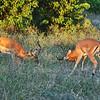 Impala sparring