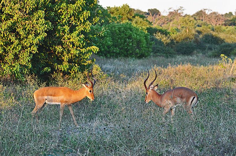 Impala facing off