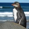 Hoiho (Yellow eyed penguin), Boulder Beach, Otago Peninsula