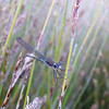 Dragonfly on wire rush, Pounawea salt marsh