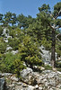 Pinus sylvestris, Nigde-Tarsus