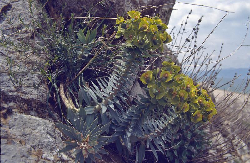 Euphorbia rigida, Egirdir Golu (lake)