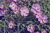 Cistus parviflorus,  on lime-stone, Nigde-Tarsus