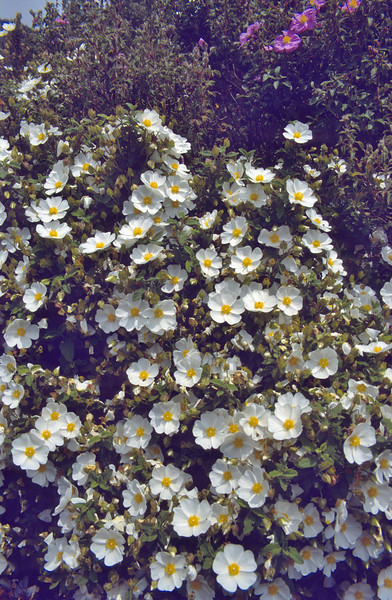 Cistus salvifolius, Anamur-Antalya