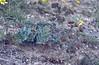 Euphorbia anacampseros, Göreme Tarihi Milli Parki