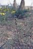 Bellevalia cf. dubia, Göreme Tarihi Milli Parki