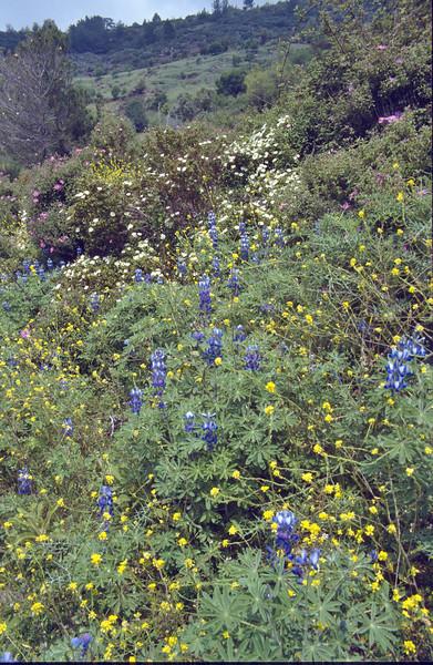 Lupinus varius, near Anamur, South Turkey