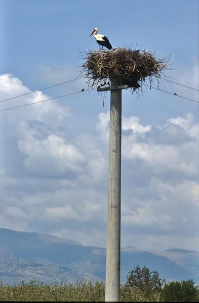 Ciconia ciconia, White Storck, Konya - Aksaray