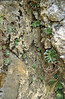 Rosularia spec. Lime stone, Egirdir-Beysehir