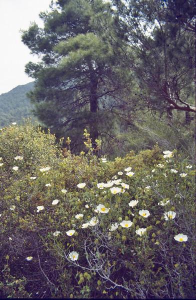 Cistus salvifolius, near Anamur, South Turkey