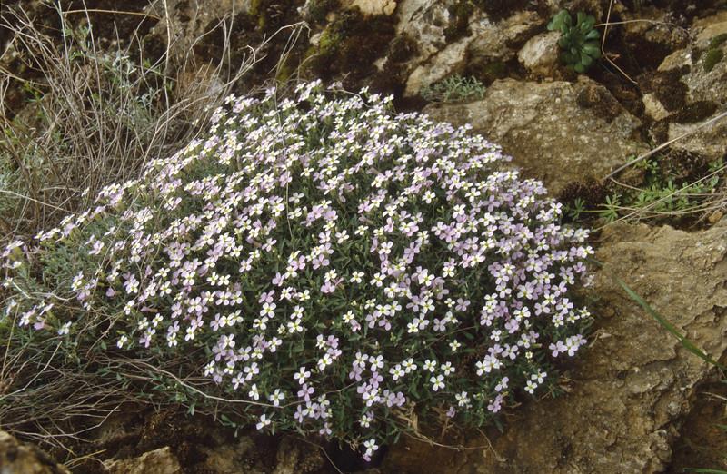 Arabis aubrietioides (near Egirdir Golu) Egirdir-Beysehir