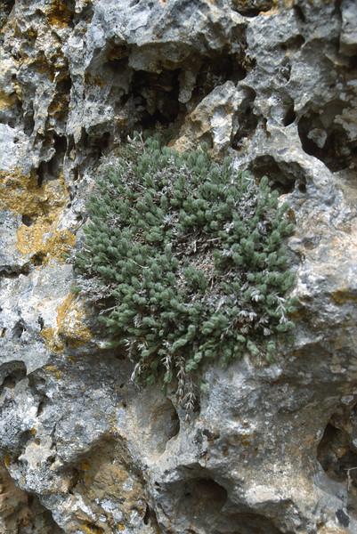Thymus cf. parnassicus, Nigde-Tarsus