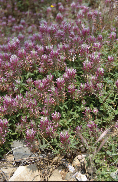 Trifolium purpureum, near Anamur, South Turkey