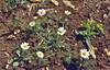 Anthemis orientalis, Nigde-Tarsus
