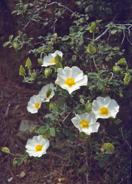 Cistus salvifolius, near Anamur, South Turkey