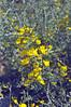 Calicotome villosa, Nigde-Tarsus