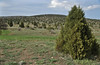 Juniperus phoenica, Konya - Aksaray