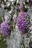 Aubrieta canescens, Nigde-Tarsus, Taurus mountains, limestone