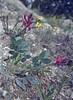 Hedysarum cappadocicum, Ürgüp, Nevsehir-Kayseri