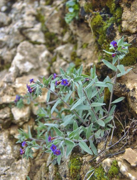 Anchusa leptophylla (near Egirdir Golu lake) Egirdir-Beysehir