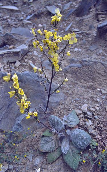 Verbascum cariense, near Anamur, South Turkey