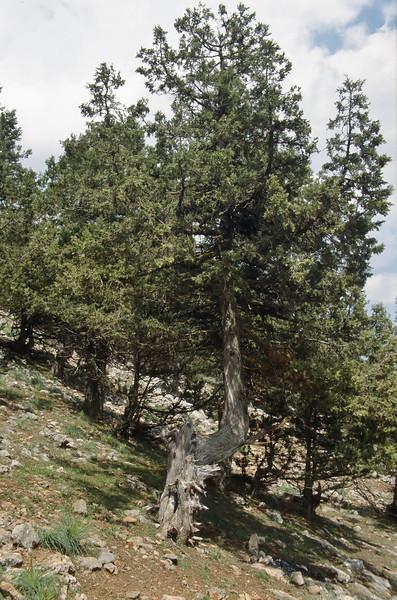 Juniperus spec. Nigde-Tarsus