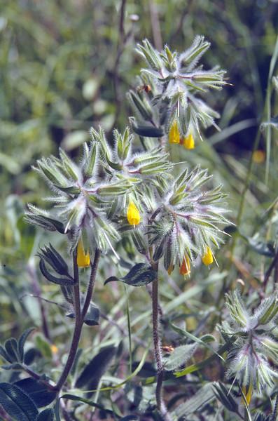 Onosma rutilum, near Tarsus, Nigde-Tarsus