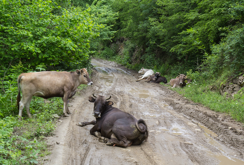 cows walk around freely