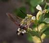 Macroglossum stellatarum on Lonicera cf caucasica