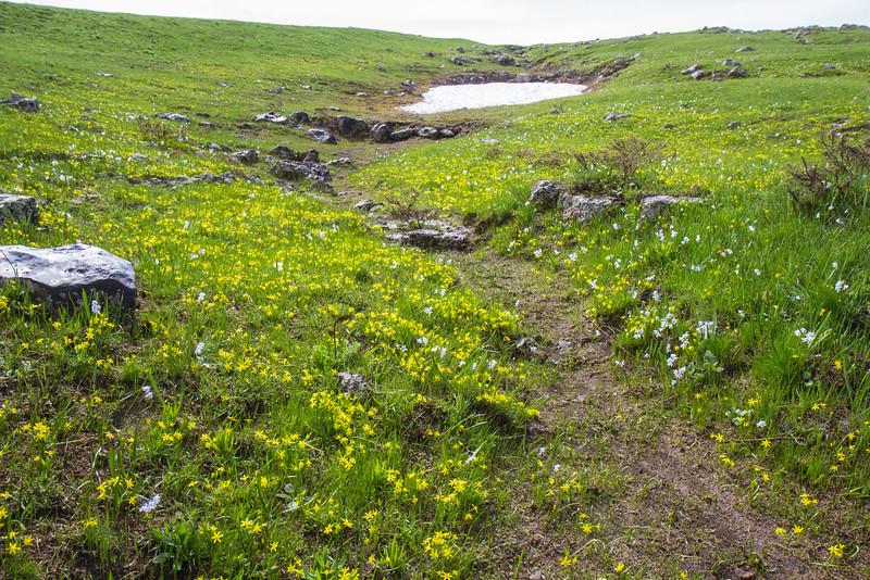 Gagea glacialis and Puschkinia scilloides